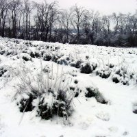 Snow covered lavender
