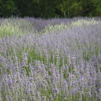 Glorious Lavender